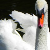 swan-18829_1920.th.jpg