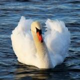swan-2515_640.th.jpg