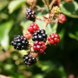 blackberry-200535_1920.th.jpg