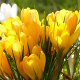 crocus-100157_1920.th.jpg
