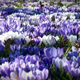 crocus-1261310_1920.th.jpg