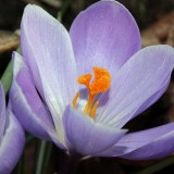 crocus-1264106_1920.th.jpg