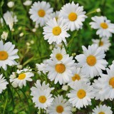 daisy-165292_1920.th.jpg
