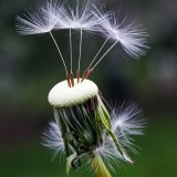 dandelion-1392492_1920.th.jpg