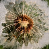dandelion-1416726_1920.th.jpg