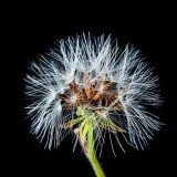 dandelion-288321_1920.th.jpg