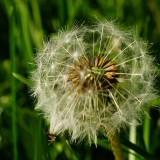 dandelion-332073_1920.th.jpg