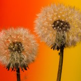 dandelion-761132_1920.th.jpg