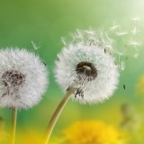dandelion_flowers_4k-1280x800.th.jpg