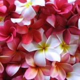 http---1mwallpaper.com-wp-content-uploads-L-Love-1-Plumeria-Fairy-Lovely-Flowers-Wallpaper-1024x768.th.jpg