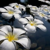 http---1mwallpaper.com-wp-content-uploads-L-Love-1-White-Plumeria-Lovely-Flowers-Wallpaper-1024x600.th.jpg