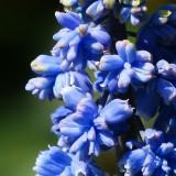 hyacinth-115180_1920.th.jpg