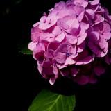 hydrangea-808786_1920.th.jpg