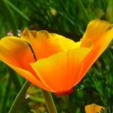 iceland-poppy-43433_1920.th.jpg