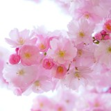 japanese-cherry-trees-324175_1920.th.jpg