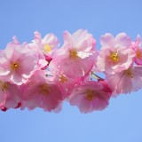 japanese-cherry-trees-324186_1920.th.jpg