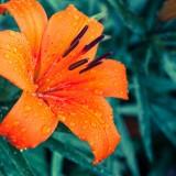lily-1045559_19202.th.jpg