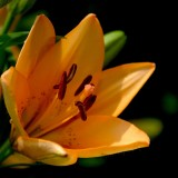 lily-123613_1920.th.jpg