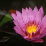 lotus-398444_1920.th.jpg