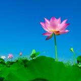 lotus-563456_1280.th.jpg