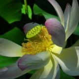 lotus-587335_1920.th.jpg