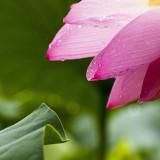 lotus-614492_1920.th.jpg