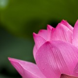 lotus-614494_1920.th.jpg