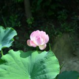 lotus-696921_1920.th.jpg