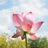 lotus-746703_1920.th.jpg