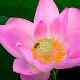 lotus-908124_1920.th.jpg