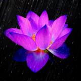 lotus.th.jpg