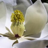 magnolia-1077384_1920.th.jpg