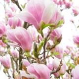 magnolia-324216_1920.th.jpg