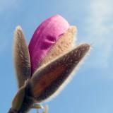 magnolia-937736_1920.th.jpg