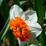 narcissus-6239_1920.th.jpg