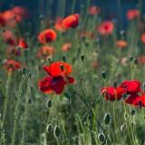 poppies-384926_1920.th.jpg