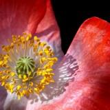 poppy-100251_1920.th.jpg