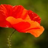 poppy-112328_1920.th.jpg