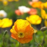 poppy-115436_1920.th.jpg