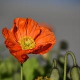 poppy-1330450_1920.th.jpg
