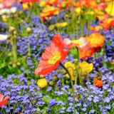 poppy-1346086_1280.th.jpg