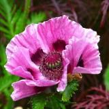poppy-139357_1920.th.jpg