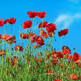 poppy-1447203_1920.th.jpg