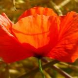 poppy-163304_1920.th.jpg