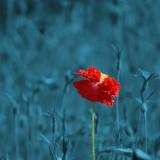 poppy-186635_1920.th.jpg