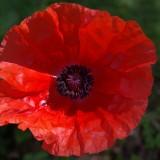 poppy-207503_1920.th.jpg