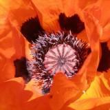 poppy-207504_1920.th.jpg