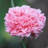 poppy-356761_1920.th.jpg
