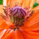 poppy-49303.th.jpg