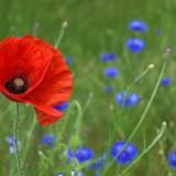 poppy-50590_1280.th.jpg